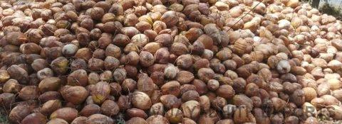 Coconut Exporters in Pollachi, Tamilnadu, India